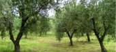 Από 24/6 έως 29/7 παραστατικά για την «Προστασία παραδοσιακού ελαιώνα Άμφισσας»