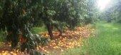 Αποζημιώσεις για όλους τους ροδακινοπαραγωγούς ζητά ο Καρασμάνης