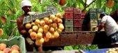 Έκτακτη οικονομική ενίσχυση de minimis και για τα ροδάκινα προαναγγέλλει ο Αραχωβίτης