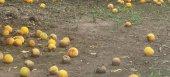 Δεν θα αποζημιώσει ο ΕΛΓΑ τους ροδακινοπαραγωγούς για τις βροχές του Ιουλίου, σύμφωνα με τον Καρασμάνη