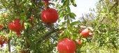 Έως 19/7 αιτήσεις ενισχύσεων για ζημιές σε ελιές και ροδιές στην Λάρισα