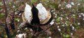 """""""Άκυρο"""" από Βορίδη για αποζημιώσεις στους βαμβακοκαλλιεργητές της Θράκης"""