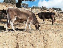 Σπάνια Φυλή Αγελάδας της Κέας