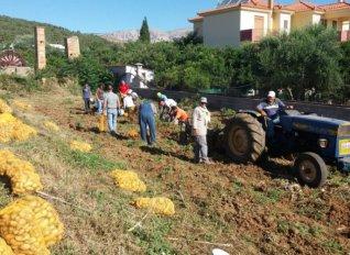 Συγκομιδή πατάτας στη Χίο για φιλανθρωπικό σκοπό