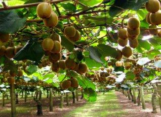 Ανοίγει η Ιαπωνική αγορά για τις Ευρωπαϊκές εξαγωγές βοείου, ακτινιδίων και άλλων φρούτων