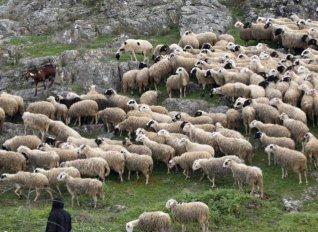 Αφανίστηκε κοπάδι από πρόβατα λόγω... υπερκατανάλωσης σταριού