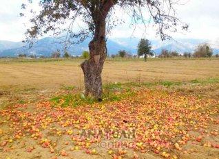 Λίπασμα γίνονται τα... μήλα του Οροπεδίου Λασιθίου