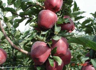 Διευκρινίσεις για το άνοιγμα της Ινδικής αγοράς στα ελληνικά μήλα