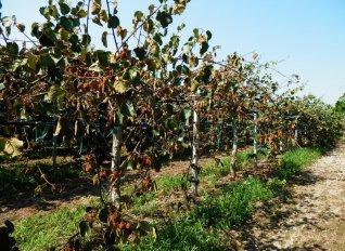 Το σύνδρομο κατάρρευσης της ακτινιδιάς επεκτείνεται ανησυχητικά στην Ιταλία