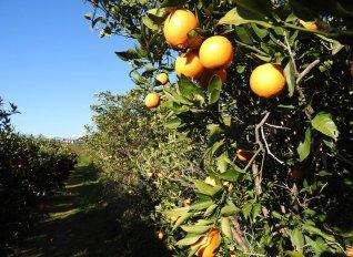 Στα 52 ευρώ το στρέμμα καθορίστηκε η συνδεδεμένη ενίσχυση για τα πορτοκάλια προς χυμοποίηση