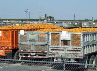 Παρά τη μεγάλη απόκλιση από την έκταση αναφοράς, η συνδεδεμένη ενίσχυση στα πορτοκάλια ορίστηκε στα 31,6 ευρώ/στρ.