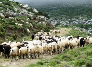 Στην επισιτιστική βοήθεια τα αδιάθετα αμνοερίφια και deminimis για κτηνοτρόφους ζητά ο ΣΑΣΟΕΕ