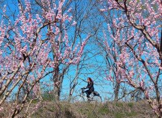 Το βεροιώτικο hanami: Ποδηλατάδα στις ανθισμένες ροδακινιές