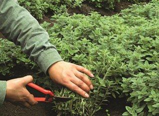 Σύλλογος για τα κρητικά βότανα από την Ορθόδοξο Ακαδημία Κρήτης