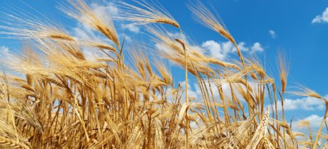 Οι καιρικές συνθήκες ευνοούν αυξημένες σοδειές σιτηρών και παραγωγές ροδάκινων – νεκταρινιών στην Ε.Ε.