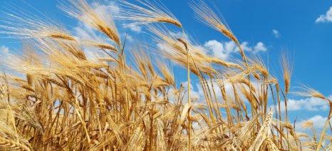 Οι Βρετανοί παραγωγοί σιτηρών βιάζονται να πουλήσουν τις σοδιές τους