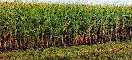 Εγκαταλείπουν τα καλαμπόκια στην Ηλεία, μειώθηκαν κατά 30-40% οι καλλιεργούμενες εκτάσεις