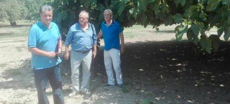 Αρχίζουν άμεσα οι εκτιμήσεις ζημιών από τις πρόσφατες βροχοπτώσεις στις καλλιέργειες σύκων της Εύβοιας