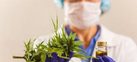 Σαράντα τρεις οι αιτήσεις για μονάδες καλλιέργειας και επεξεργασίας φαρμακευτικής κάνναβης