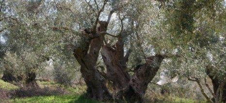 Δήλωση ζημιών για τη σχινοκαρπία στις ελιές σε πολλούς δήμους της Κρήτης