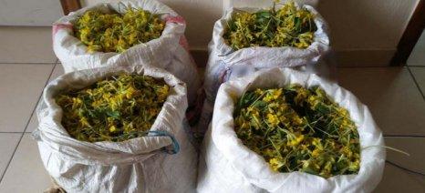 Σύλληψη 4 ατόμων για παράνομη συλλογή αρωματικού φυτού