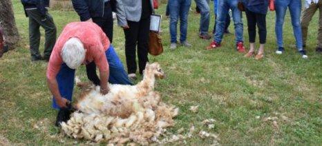 Η ανάδειξη της αξίας του μαλλιού των προβάτων ήταν στόχος της επιτυχημένης ημερίδας στο Δολό Ιωαννίνων