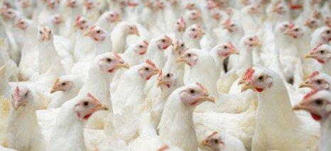 Στήριξη 64,2 εκατ. ευρώ σε ιταλούς πτηνοπαραγωγούς για την αντιμετώπιση της γρίπης των πτηνών