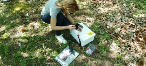 Εφαρμόστηκε από το ΥΠΑΑΤ και το Μπενάκειο η βιολογική καταπολέμηση της σφήκας της καστανιάς