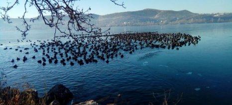 Εγκλωβίστηκαν στον πάγο τα πουλιά στη λίμνη της Καστοριάς