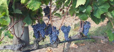 «Οίνος και Πολιτισμός: Γευόμαστε τα κρασιά της Νάουσας!», την Κυριακή 6 Οκτωβρίου