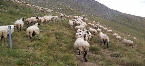 Στα 5 ευρώ ανά ζώο οι de minimis ενισχύσεις αιγοπροβατοτρόφων
