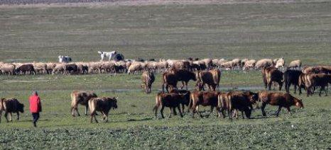 Επιστολή-καταγγελία ΑΚΚΕΛ για παράλογα προαπαιτούμενα πληρωμής αποζημιώσεων σε κτηνοτρόφους
