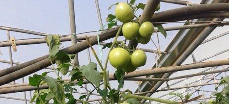 Ένα οικογενειακό θερμοκήπιο στα Φιλιατρά δείχνει τον δρόμο στα νέα υβρίδια ντομάτας