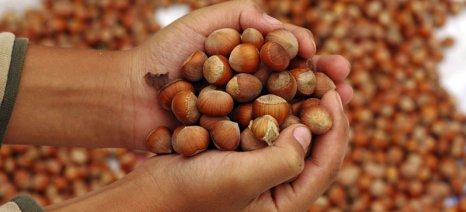 Την αναβίωση της καλλιέργειας φουντουκιάς μεθοδεύει η ΣΕΚΕ
