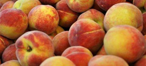 Χυμοποίηση, στρεμματική αποζημίωση και αναδιάρθρωση καλλιεργειών ζητούν οι ροδακινοπαραγωγοί