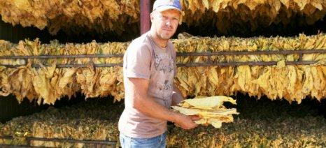 Φθίνει η καπνοκαλλιέργεια στην Ποταμιά Λάρισας