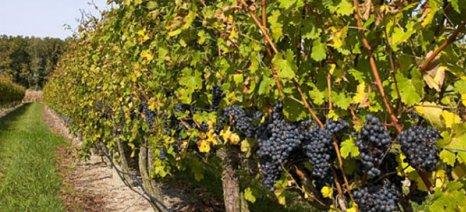 Σπεύδει ο δήμος Ηρακλείου να επισκευάσει το αγροτικό οδικό δίκτυο ενόψει τρύγου