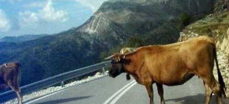 Προβλήματα με τα αδέσποτα βοοειδή στην Άρτα