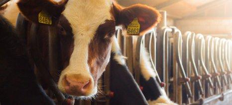 Δεν χάνουν τα δικαιώματα ενίσχυσης όσοι κτηνοτρόφοι θανατώνουν το κοπάδι τους λόγω οζώδους δερματίτιδας