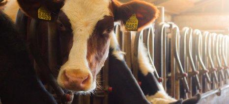 Διαγωνισμός για την εκποίηση πρόβειου και αγελαδινού γάλακτος από το Ινστιτούτο Κτηνοτροφίας Γιαννιτσών