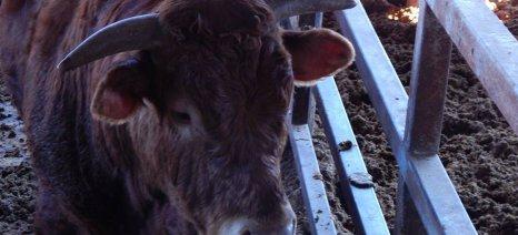 Έκτακτη ενίσχυση σε βοοτρόφους 15,28 ευρώ/ζώο πιστώνεται μέσα στην εβδομάδα