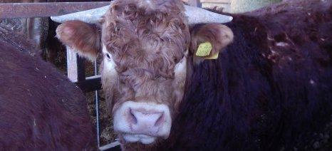 Βοοτρόφοι προς Μπόλαρη: Είναι χαμηλές οι αποζημιώσεις για τη θανάτωση ζώων από οζώδη δερματίτιδα