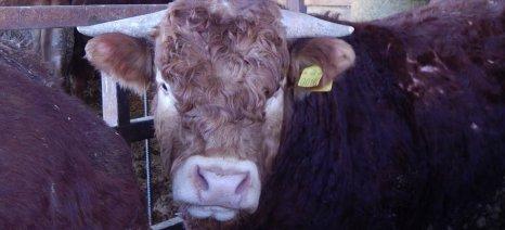 Καθορίστηκε στα 140 ευρώ ανά επιλέξιμο θηλυκό ζώο η συνδεδεμένη ενίσχυση για το βόειο κρέας