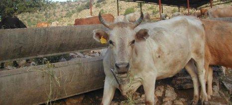 «Κυνηγός» αδέσποτων αγελάδων, τις φωτογραφίζει και στέλνει τους ιδιοκτήτες στο δικαστήριο!