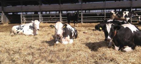 Ο κλάδος της αγελαδοτροφίας γαλακτοπαραγωγής εκπέμπει S.O.S.