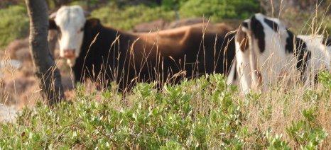 Συνολικά 110 αγελάδες θανατώθηκαν στην Κοζάνη για το κρούσμα βρουκέλλωσης σε μονάδα των Σερβίων