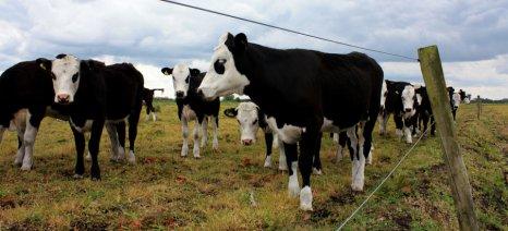 Συγκρoτείται εθνικό κέντρο για τον έλεγχο της οζώδους δερματίτιδας των βοοειδών