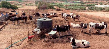 Στα 62,31 ευρώ ανά επιλέξιμο τόνο αγελαδινού και γίδινου γάλακτος το πριμ στο προϊόν που προορίζεται για τυροκομεία του Αιγαίου