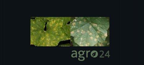 Την είσοδό του έκανε ο περονόπορος στις θερμοκηπιακές καλλιέργειες αγγουριών