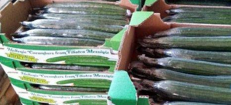 Τους 20.000 τόνους φτάνει φέτος η εξαγωγή αγγουριού από την Τριφυλία